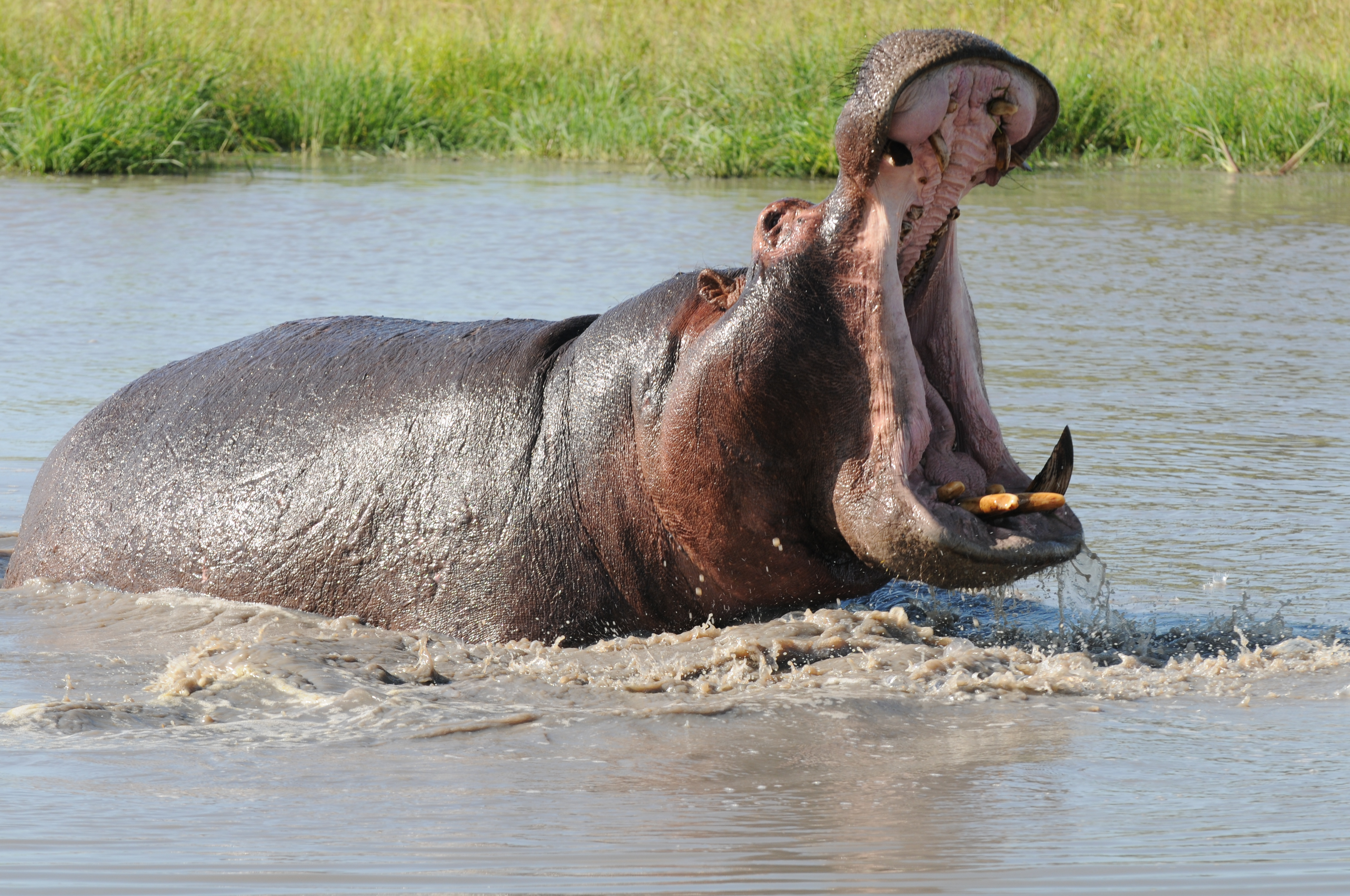 Hippo Images Reverse Search