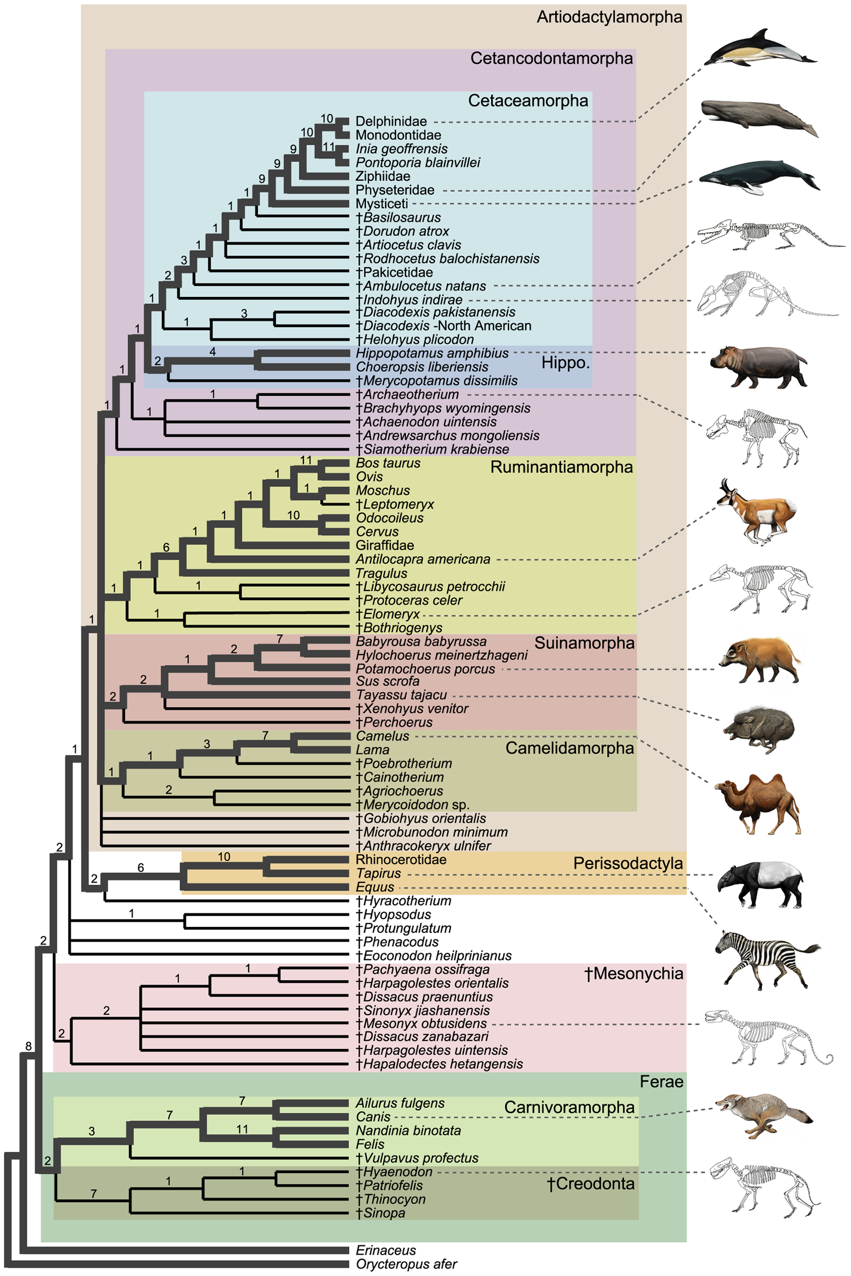 Convergent Evolution Cladogram Convergent Evolution.gif